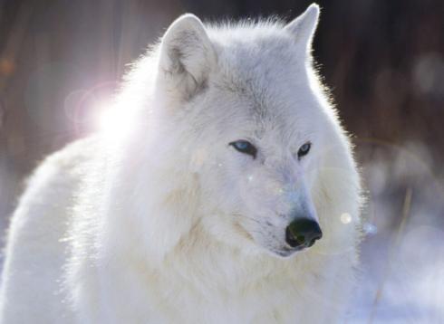 Ian's Wolf