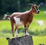 goat on stump
