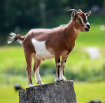 goat on stump